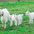 ヤギが室内でも飼える!?買える場所と寿命や病気についても調査してみた!